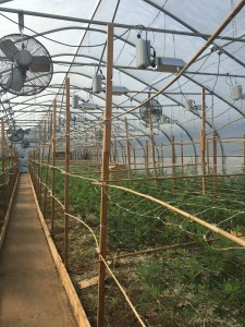Inside the greenhouse at SoFresh in Canby, Oregon